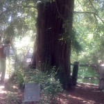 El Palo Alto, the tree that is the city's namesake.